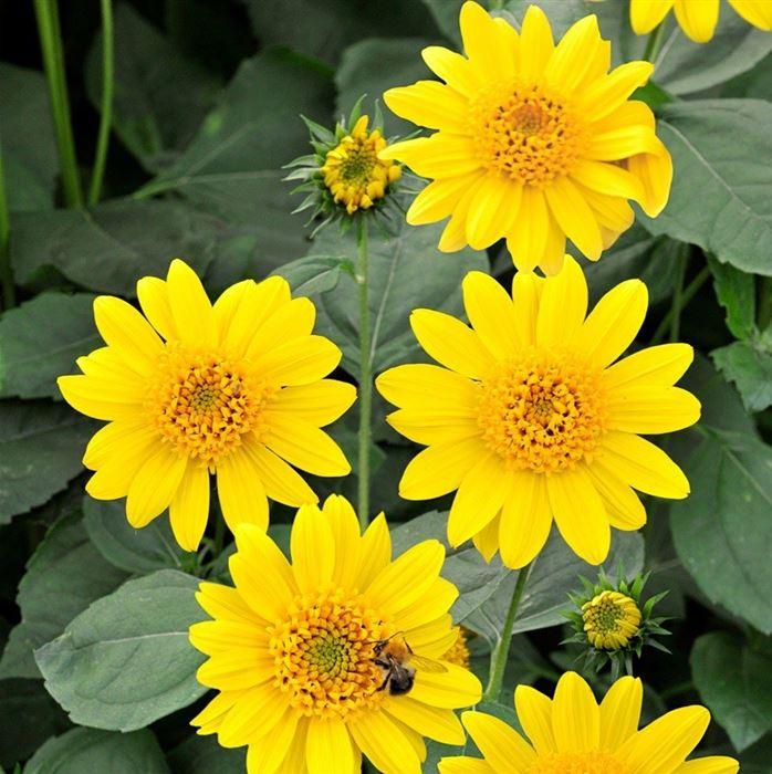 bienenfreundlich niedrige Topfsonnenblume Sonnenblume Big Smile 02880